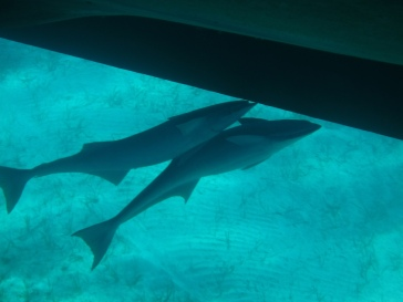 Remora beneath the boat.