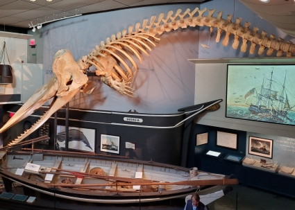A young sperm whale