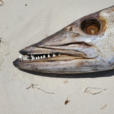 Check out the cool teeth on the barracuda carcass!