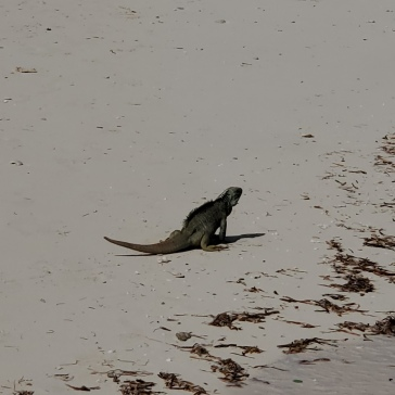 The iguanas on Iguana Island are skittish and small compared to the ones on Allen's Cay in the Exumas.